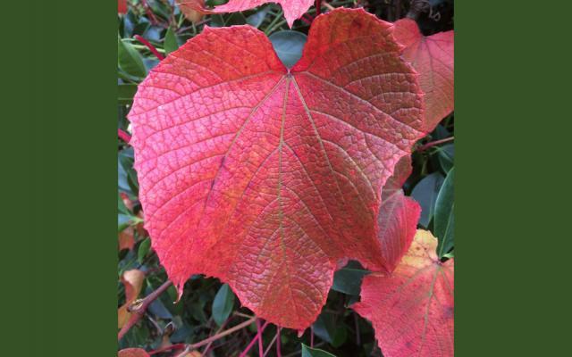 vitis coignetiae2 small