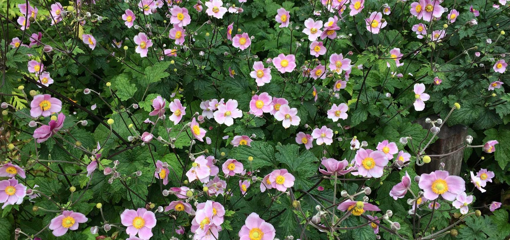 anemone x hybrida