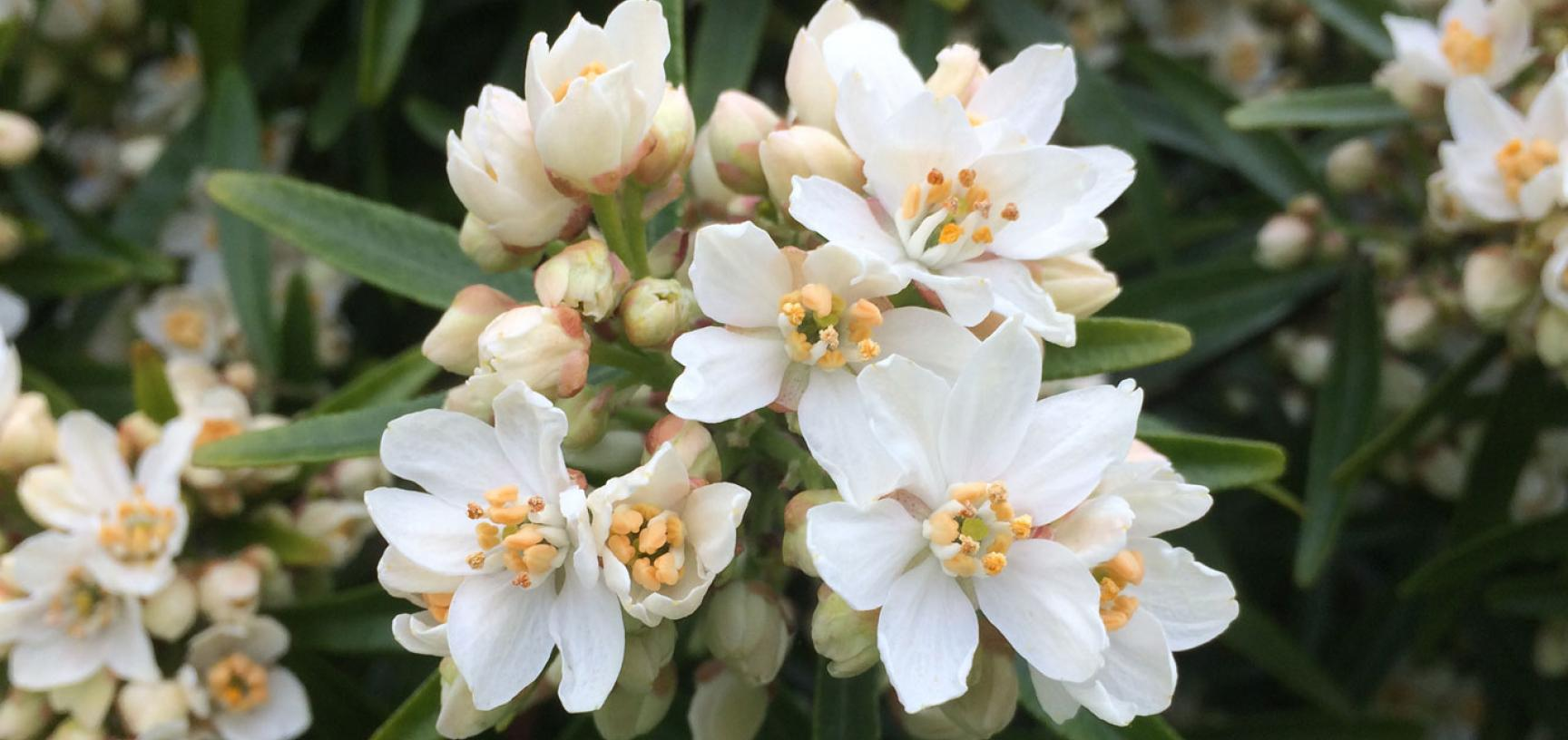 choisya x dewitteana 'aztec pearl'