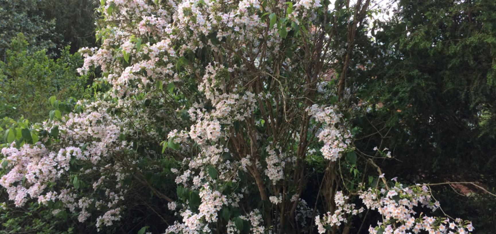 dipelta floribunda2 resize