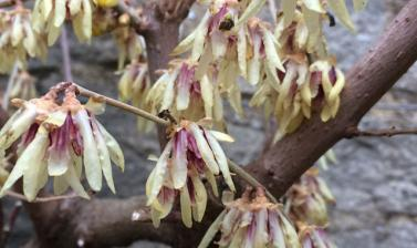 plant of the week chimonanthus praecox