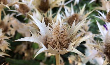 eryngium giganteum