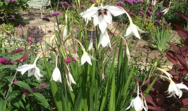 Gladiolus callianthus 2