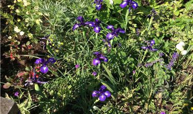 iris latifolia 2