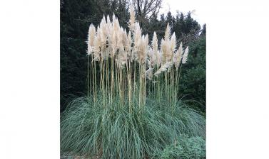 pampas grass cortaderia selloana