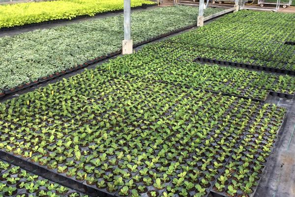 Photo of trays of bedding plants at Taunton Deane Nurseries, Somerset