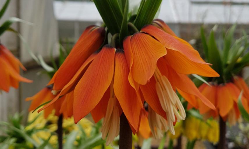 fritillaria imperialis1 resize 800x445