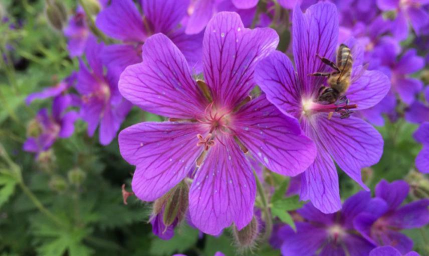 geranium x magnificum
