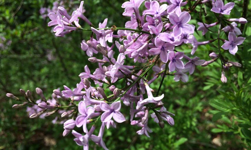palibin lilac