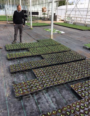 Photo of Dan Winter inspecting trays of bedding plants at Taunton Deane Nurseries, Somerset