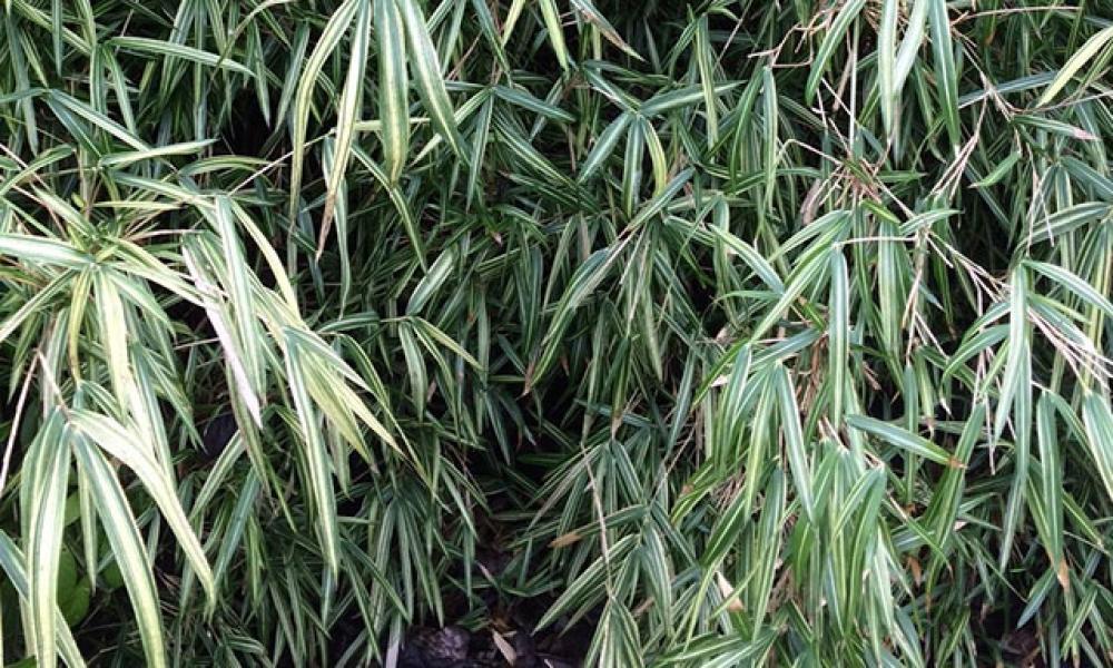 Pleioblastus fourtunei variegata