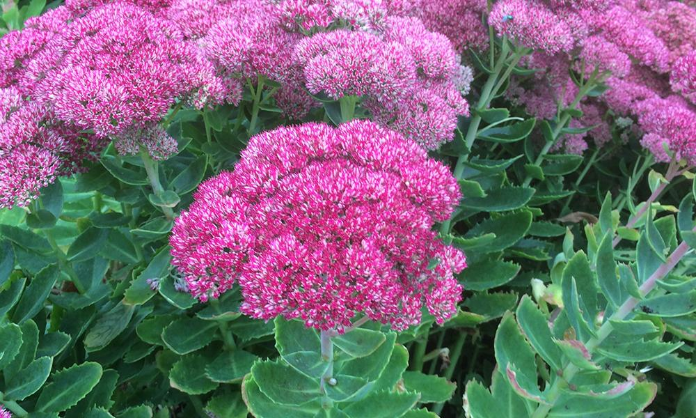 hylotelephium herbstfreude