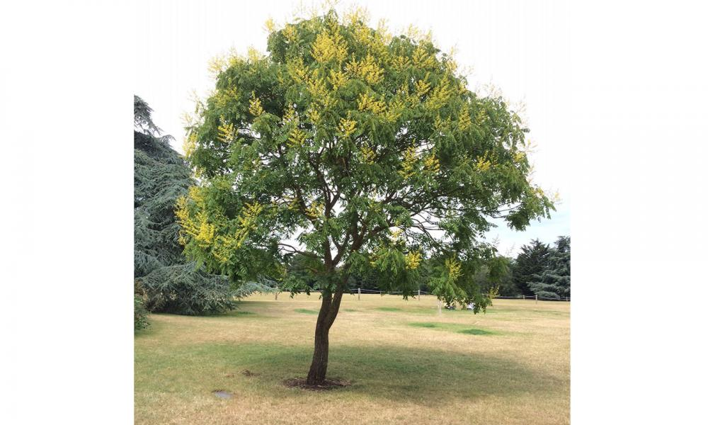 Koelreutria paniculata