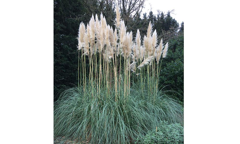 pampas grass cortaderia selloana