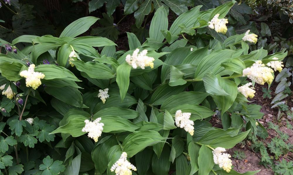 Smilacina racemosa 2