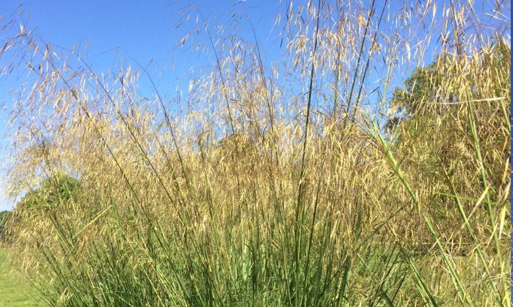 Stipa Gigantea - Golden Oats
