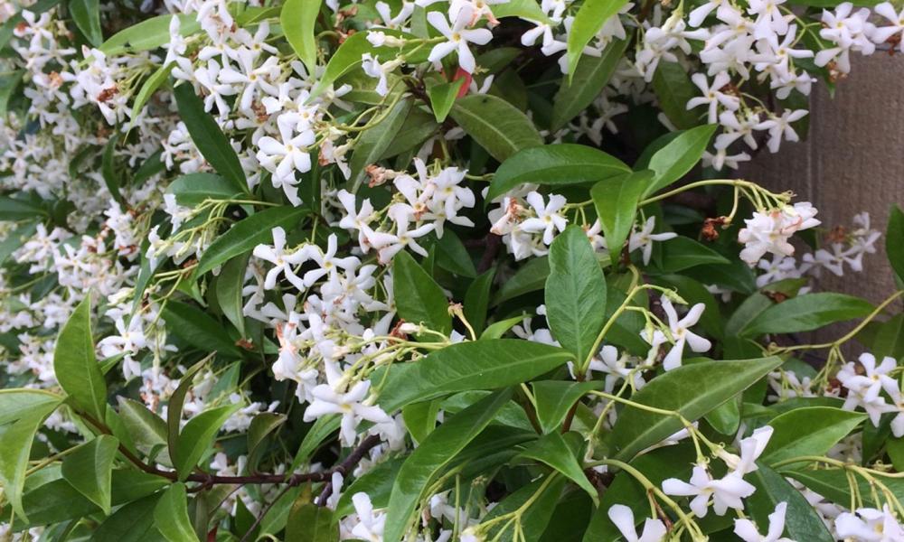 Trachelospermum jasminoides 2