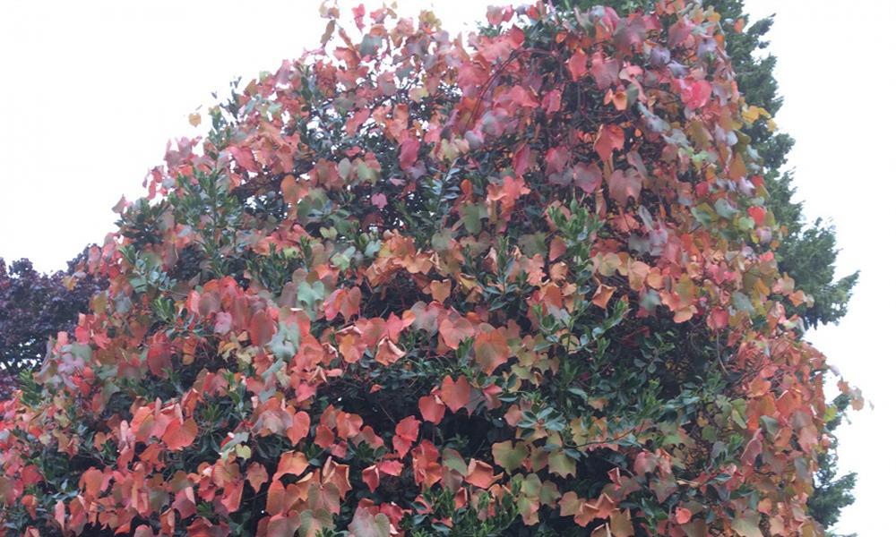 vitis coignetiae large